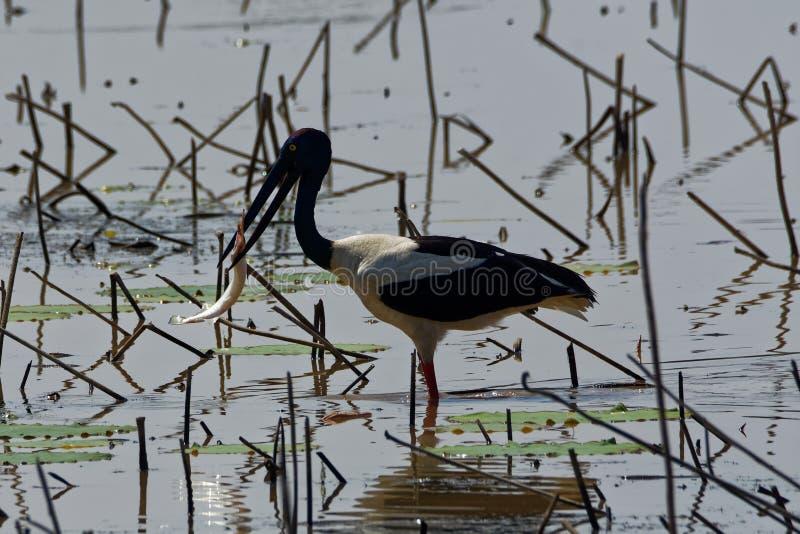 Schwarzer Necked Storch hat einen Fisch gefangen stockfoto