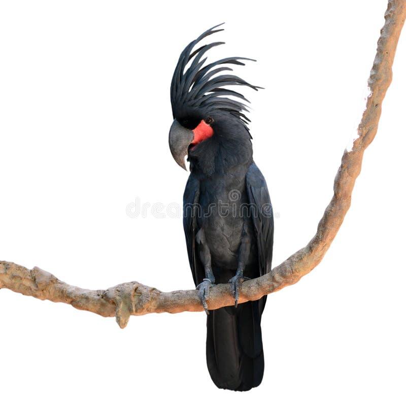 Schwarzer Palmkakadu lizenzfreies stockfoto