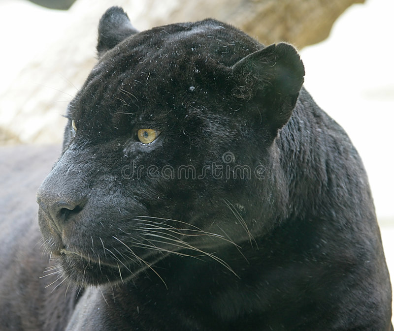Schwarzer Panther 3 lizenzfreies stockbild