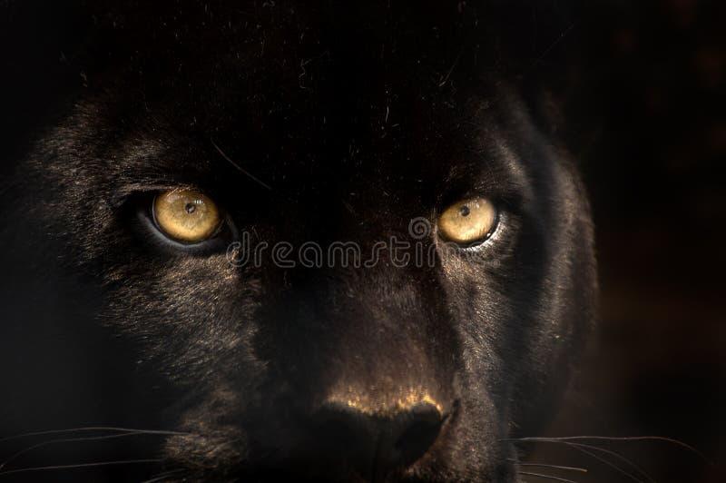 Schwarzer Panther lizenzfreie stockfotos