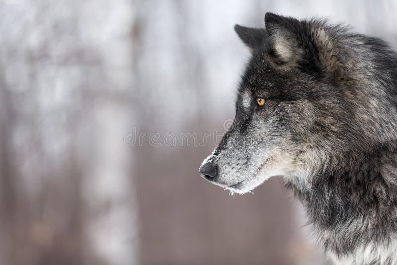 Schwarzer Phasen-Grey Wolf Canis-Lupus Profil-Kopien-Raum stockfotografie