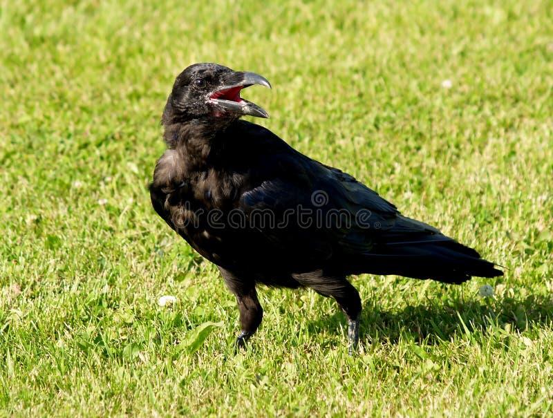 Schwarzer Rabe auf Gras stockbild