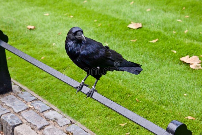Schwarzer Rabe am Tower von London stockfotos
