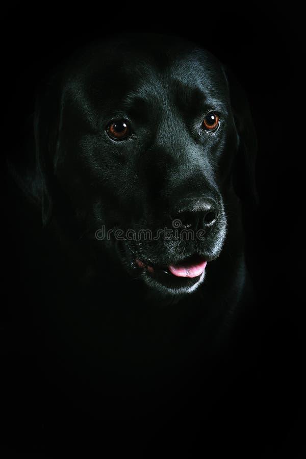 Schwarzer Retriever Labrador lizenzfreies stockfoto