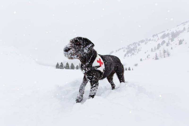 Schwarzer Rettungshund, der auf Schnee sucht lizenzfreie stockfotografie