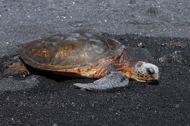 Schwarzer Sand und grünes Seeschildkröte lizenzfreies stockbild