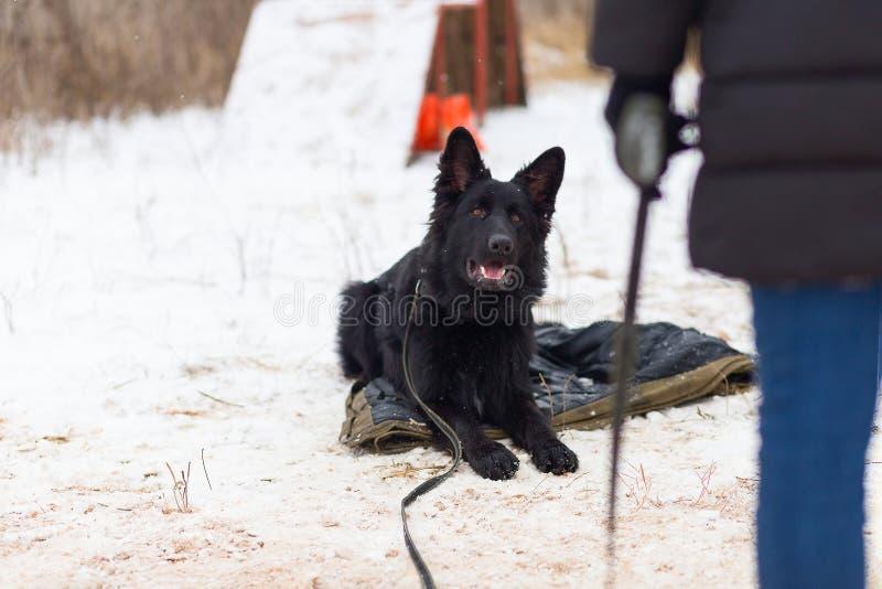 Schwarzer Schäferhund, der ergeben im Winter auf Training sitzt lizenzfreie stockfotos