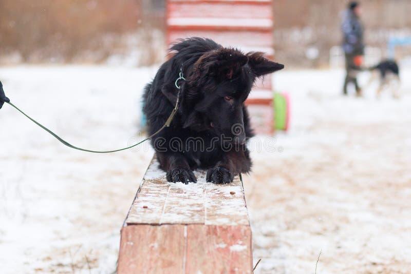 Schwarzer Schäferhund, der ergeben im Winter auf Training sitzt lizenzfreies stockfoto