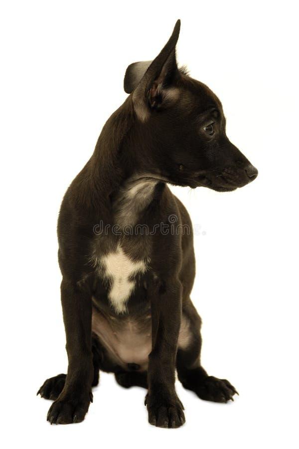 Schwarzer schüchterner Welpenhund stockbild