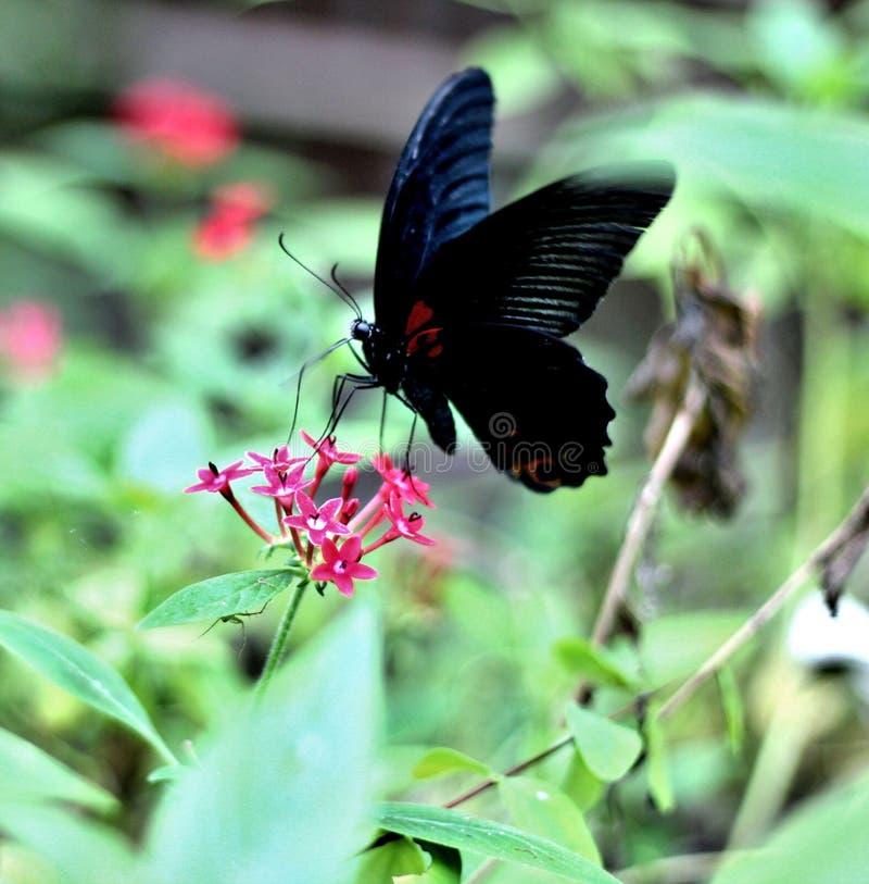 Schwarzer Schmetterling auf dem Blumengetränknektar stockbilder