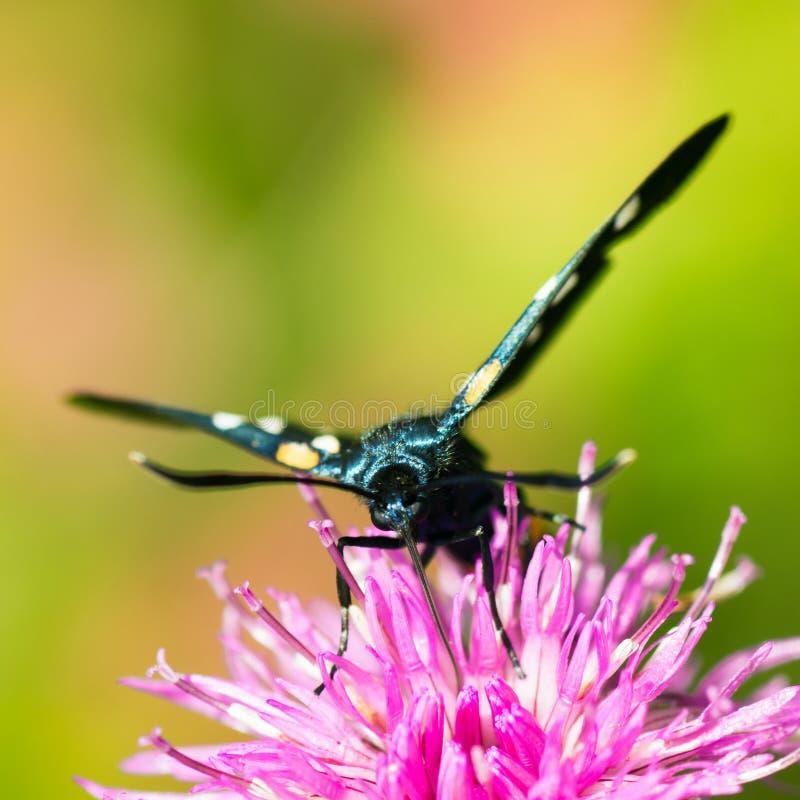 Schwarzer Schmetterling auf rosa Blume lizenzfreies stockfoto
