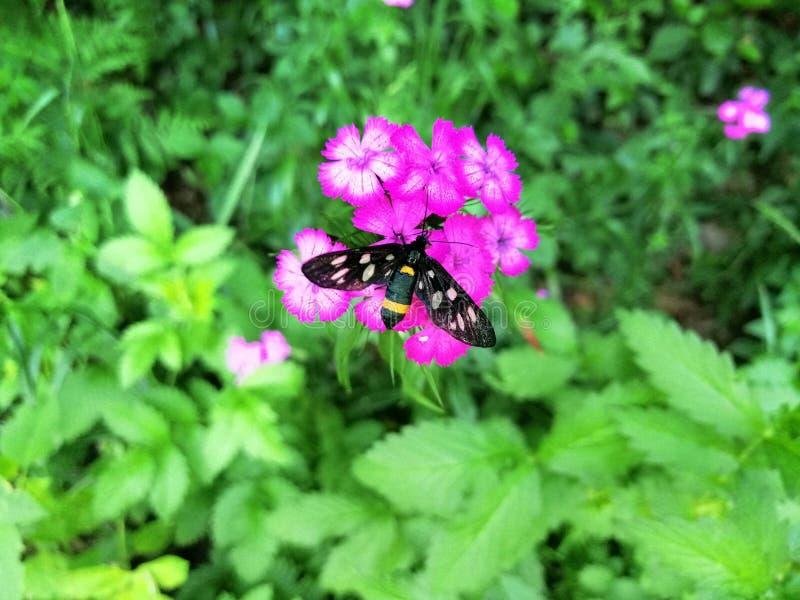Schwarzer Schmetterling, der oben auf einer rosa Blume, Abschluss sitzt lizenzfreies stockbild