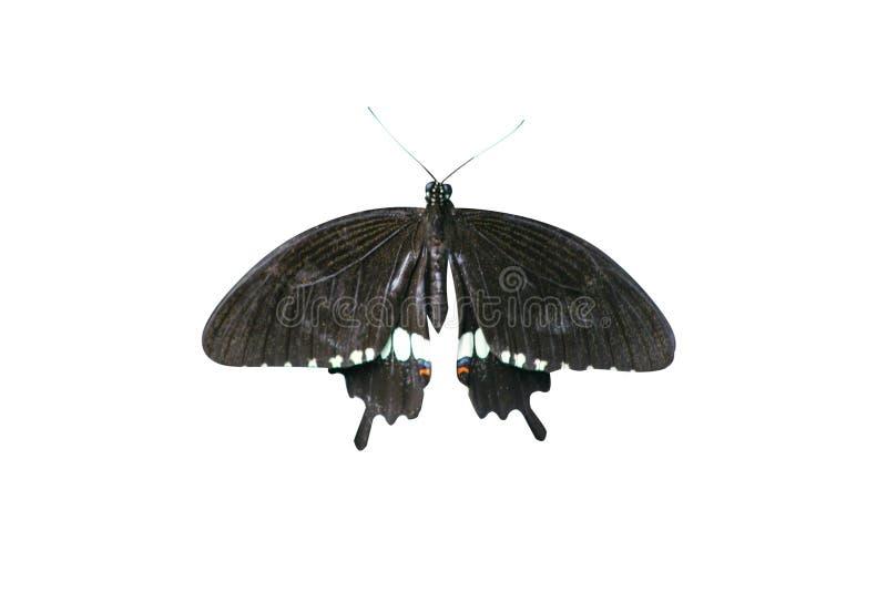 Schwarzer Schmetterling lokalisiert lizenzfreie stockfotos