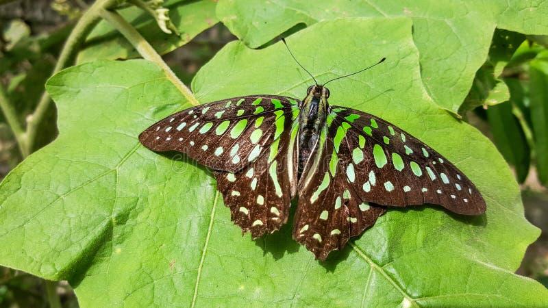 Schwarzer Schmetterling mit grünen Stellen auf Blättern stockbilder