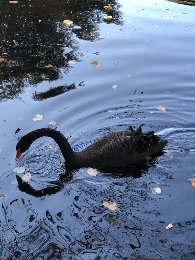 schwarzer Schwan, der den Spiegel betrachtet stockfoto