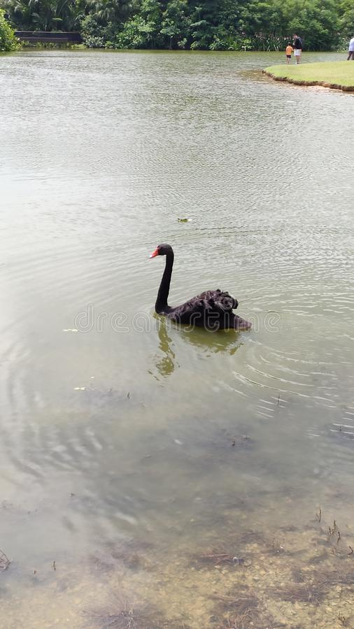 Schwarzer Schwan, der im kleinen See schwimmt lizenzfreie stockbilder