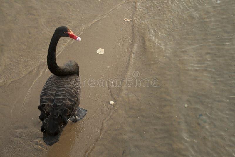 Schwarzer Schwan geht entlang einen Strand im See-Eingang, Victoria, Australien lizenzfreies stockbild