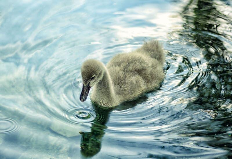 Schwarzer Schwan kleiner Cygnet auf Wasser stockfotografie