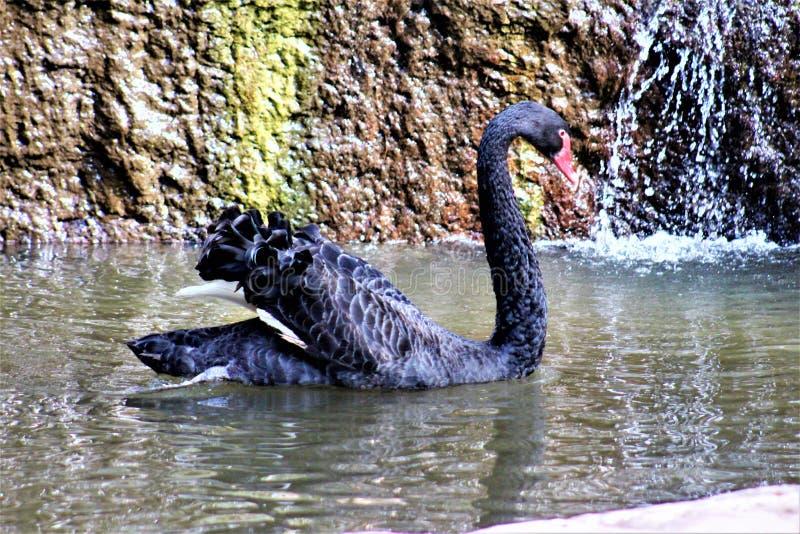 Schwarzer Schwan am Phoenix-Zoo in Phoenix, Arizona in den Vereinigten Staaten lizenzfreies stockbild