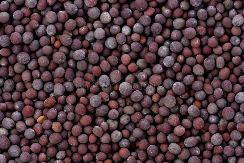 Schwarzer Senf-Startwerte für Zufallsgenerator (Kohl Nigra) stockfotografie