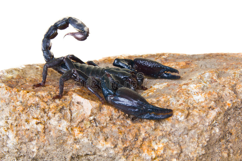 Schwarzer Skorpion stockfotografie