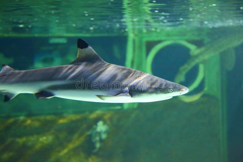Schwarzer Spitzerifhaifisch lizenzfreie stockfotografie