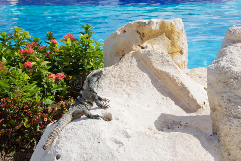 Schwarzer stacheliger angebundener Leguan durch das Pool stockfotografie