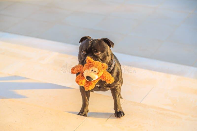 Schwarzer Staffordshire-Bullterrierhund, der auf Steinschritten steht lizenzfreie stockfotografie