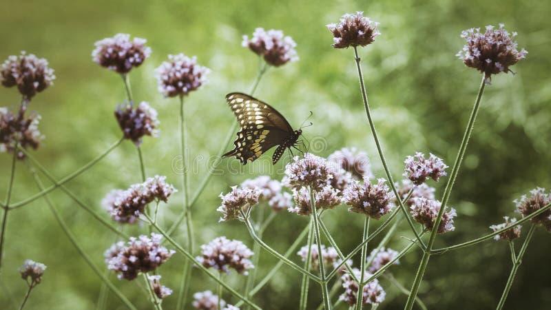 Schwarzer Swallowtail-Schmetterling stockfoto