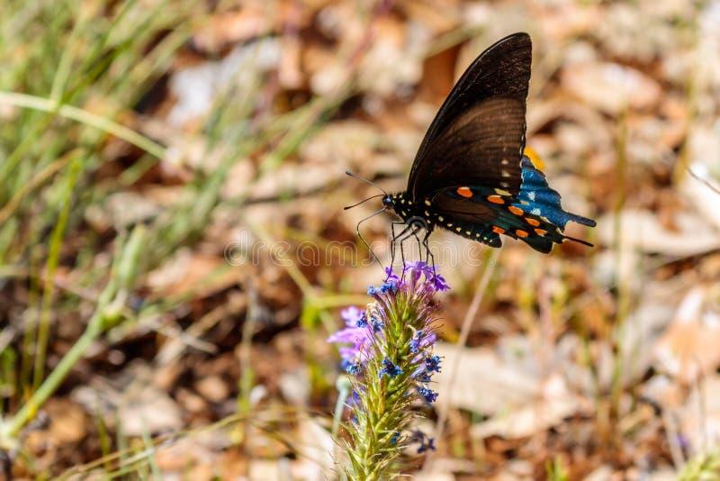 Schwarzer Swallowtail-Schmetterling, der auf einem purpurroten Verbana stillsteht stockfotos