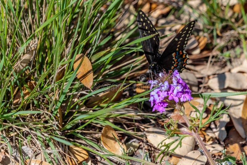 Schwarzer Swallowtail-Schmetterling, der auf Texas Wildflowers stillsteht lizenzfreie stockfotografie