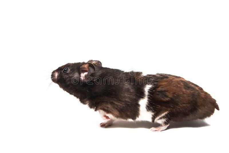 Schwarzer syrischer Hamster, Studio mit weißem Hintergrund lizenzfreies stockbild