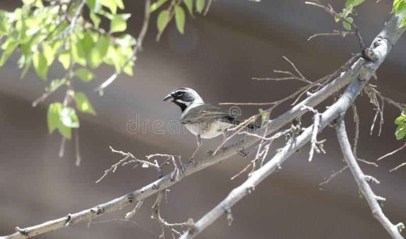 Schwarzer Throated Spatzenvogel, kolossaler Höhlen-Gebirgspark, Arizona stockfotografie