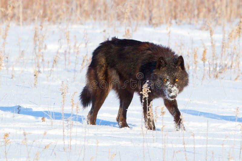 Schwarzer Timberwolf mit dem Durchbohren von gelben Augen stockbild