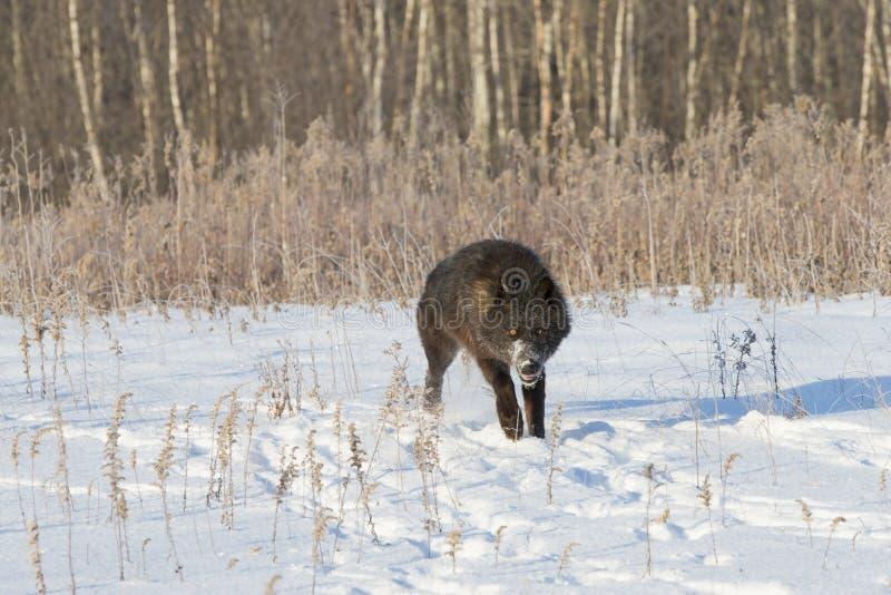 Schwarzer Timberwolf mit piercing Augen lizenzfreie stockfotografie