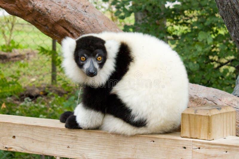 Schwarzer u. weißer getrumpfter Lemur stockfotos