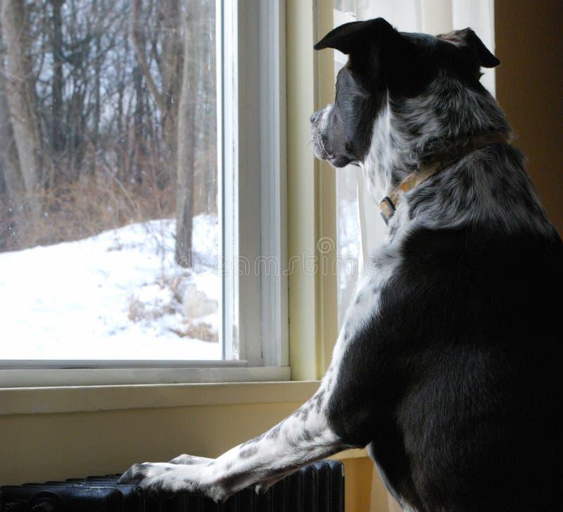 Schwarzer u. weißer Hund, der heraus den Schnee der Wind betrachtet stockbild