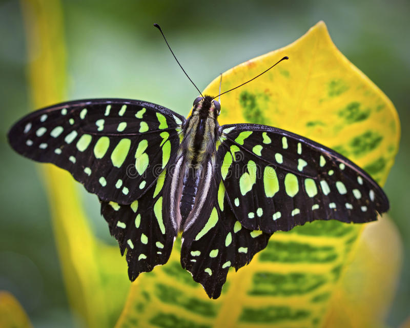Schwarzer und grüner Schmetterling auf einer tropischen Anlage lizenzfreies stockbild
