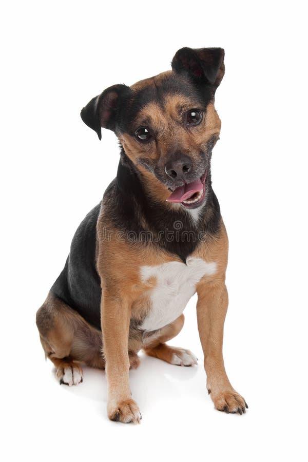 Schwarzer und tan Terrier Jack-Russel lizenzfreie stockbilder
