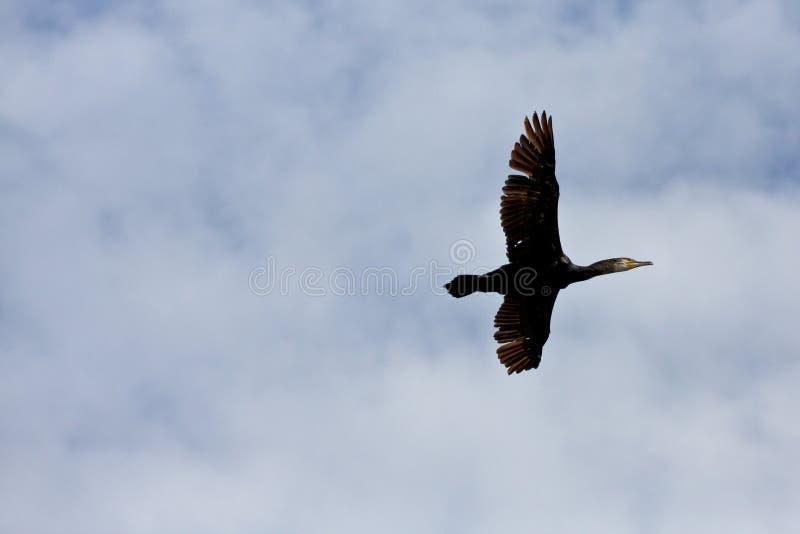 Schwarzer Vogel, der heraus das Meer fliegt lizenzfreie stockfotos