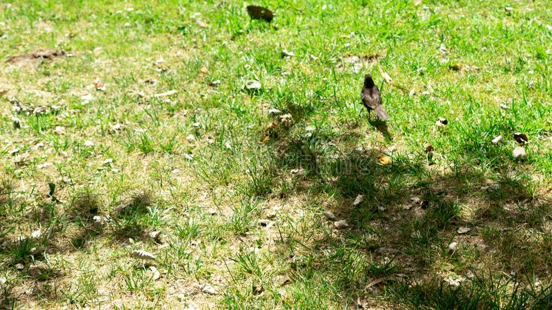 Schwarzer Vogel im Gras stockfotografie