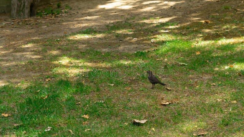 Schwarzer Vogel im Gras stockbild