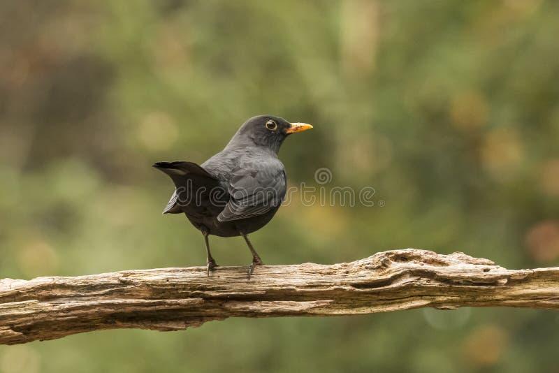 Schwarzer Vogel, Turdus merula, Singvogel lizenzfreie stockbilder