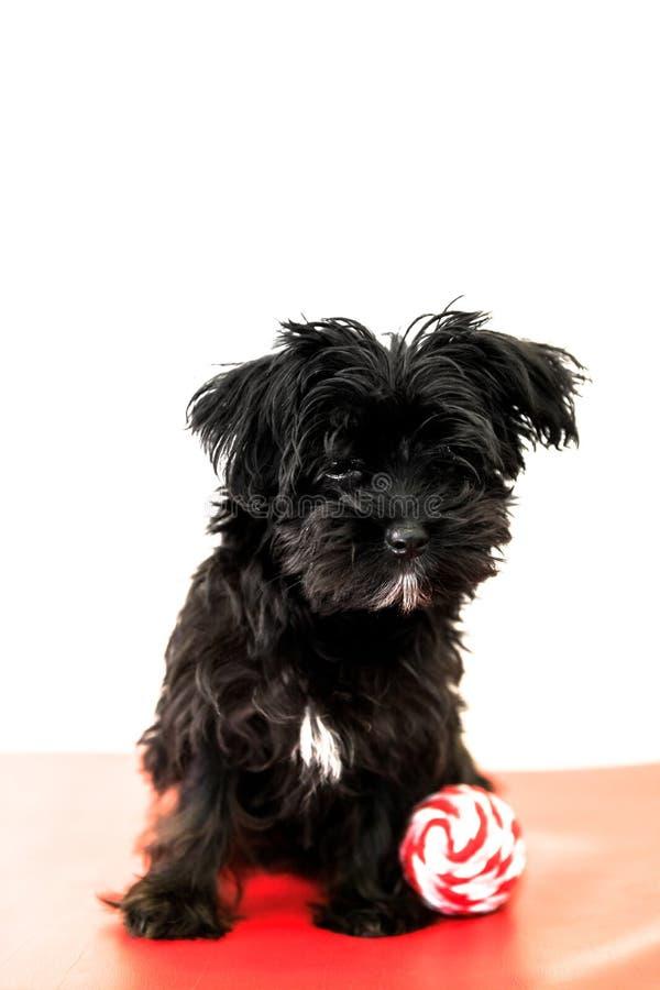 Schwarzer Welpenhund stockbild