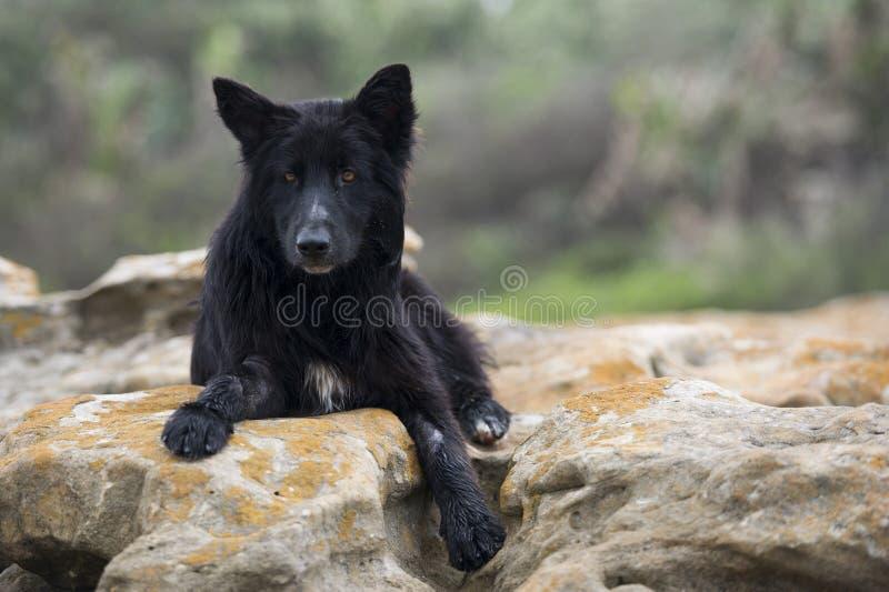 Schwarzer Wolfhund lizenzfreie stockfotos