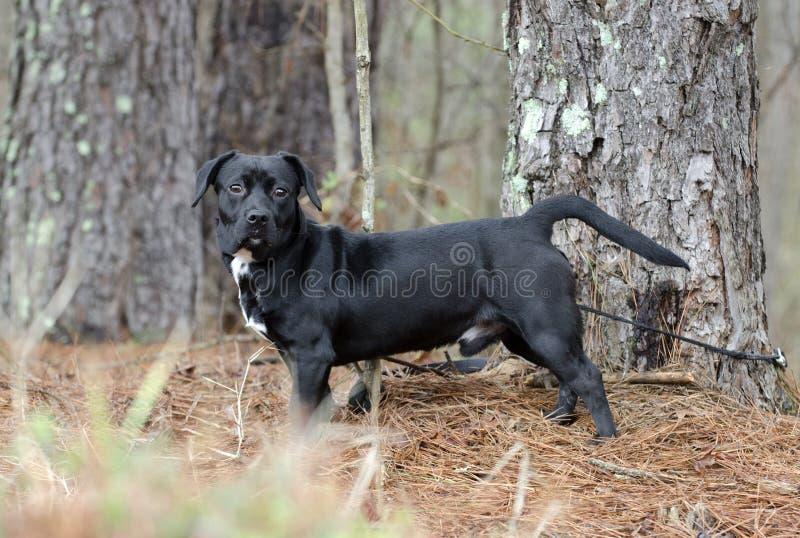 Schwarzer Zucht-Hundeköter des Spürhunds Dachshund gemischter lizenzfreie stockbilder