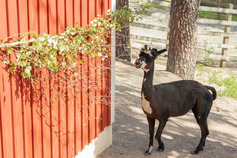 Schwarzes Alpaka im Zoo am Sommer lizenzfreie stockbilder