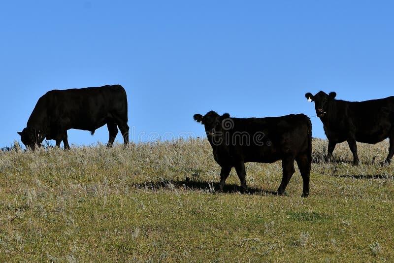 Schwarzes Angus-Vieh, das in einer Weide weiden lässt stockbilder