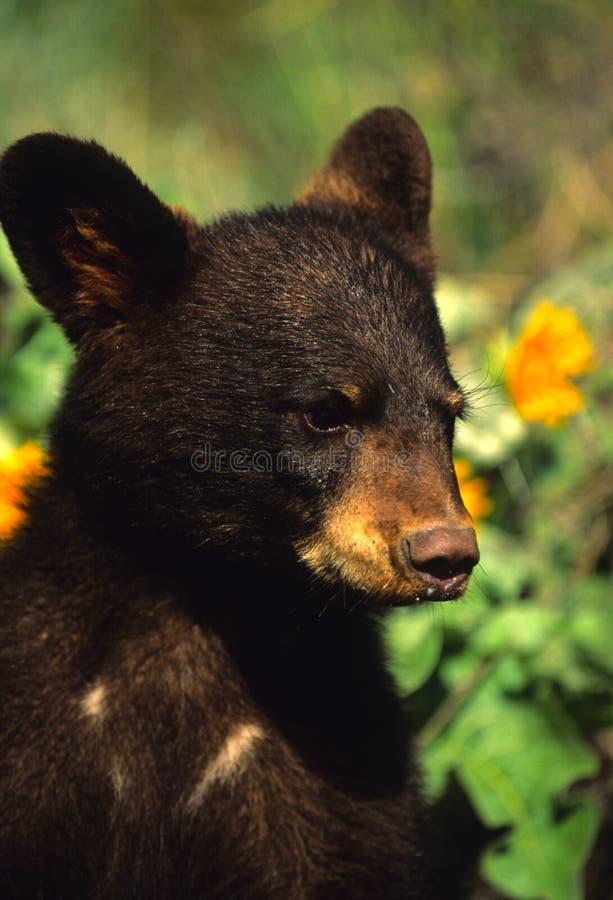 Schwarzes Bärenjunges stockfotografie