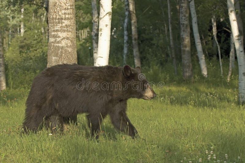 Schwarzes Bärenjunges lizenzfreies stockbild
